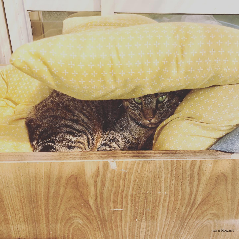 今日はさむい#雨降り #きじとら #モコ #座布団猫 (racssの 猫instagramより)