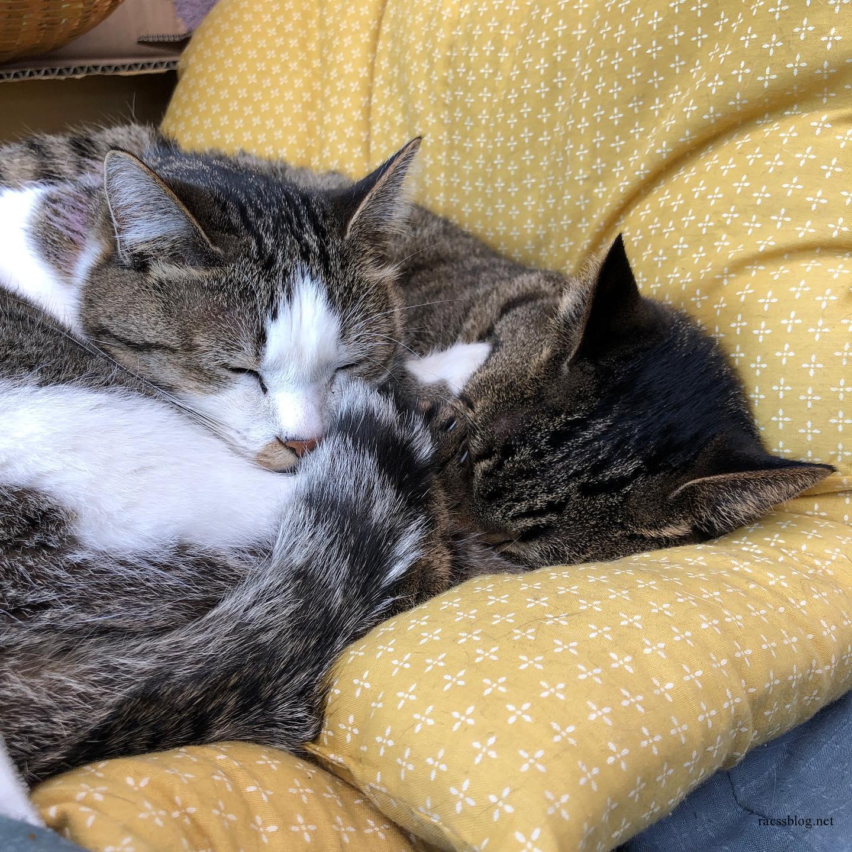 親子仲良いわねえ〜と思ったら、若干抵抗の形跡が。(2枚目)#後ろ足 #眠くて抵抗し切れなかったモコ#シメシメな母ネコ #くっつきたいのが猫心 #きじとら #catlife #きじしろ (racssの 猫instagramより)