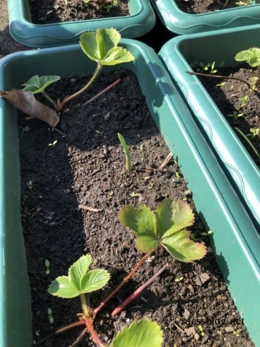 イチゴとニンニクの芽