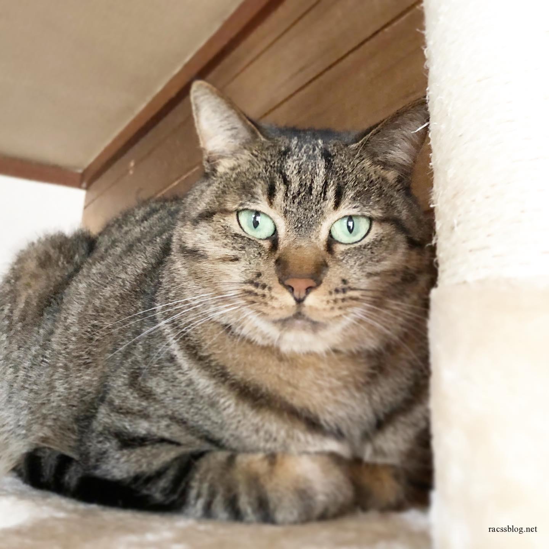 オレさまはトラ猫。#キジトラ (racssの 猫instagramより)