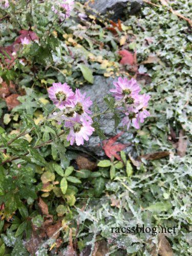 キク科のアスターやマムは雪の下で越冬します