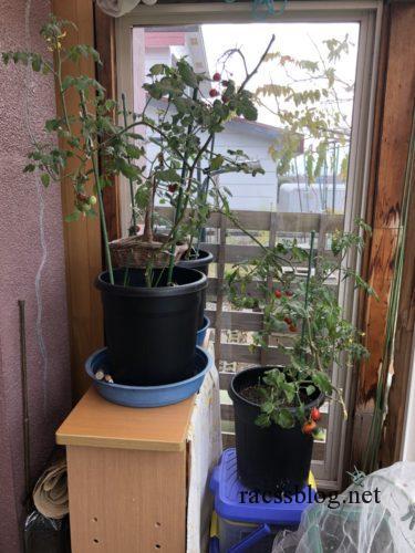 鉢植えミニトマト