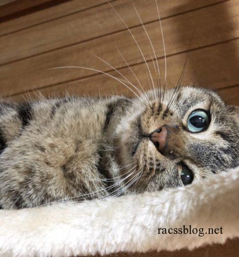 キジトラ猫