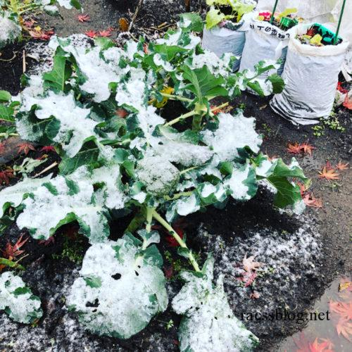 雪をかぶるブロッコリー