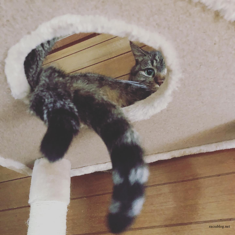 仲良くキャットタワー を使うことにした #キジトラ #双子猫 (racssの 猫instagramより)