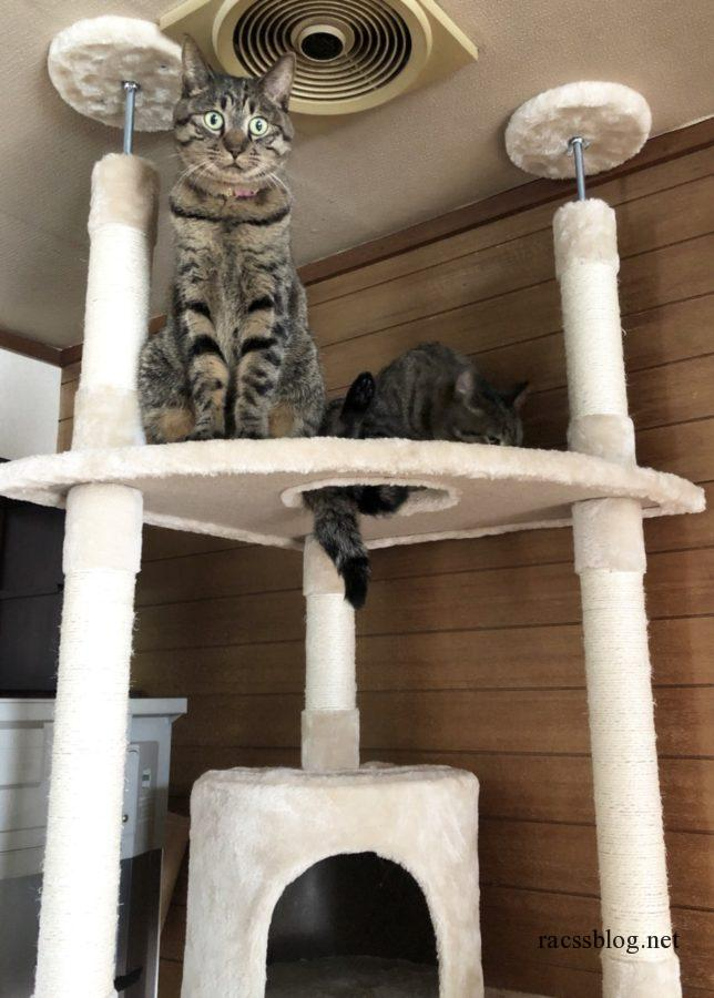 キャットタワーに登る2匹