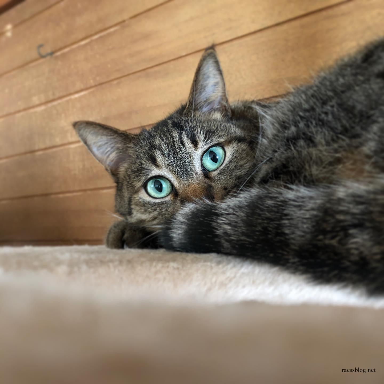 ゴロニャン #キジトラ (racssの 猫instagramより)